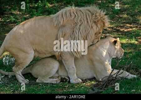 Two adult white lions mating on grass, Lion & Safari Park, Gauteng, South Africa. Stock Photo