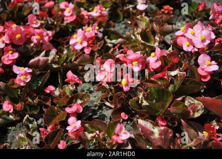 Many beautiful begonia semperflorens (Wax begonia, Begonia conchita) flowers close up. Pink petals and leaves and yellow pistils. Natural organic back - Stock Photo