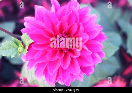 Dahlia flower Pink Dahlia flower. light pink flower. dahlias in several colors with bees, which are pollenizing. Chrysanthemum flower in bangladesh. - Stock Photo