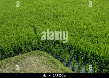Top or aerial close up view over green paddy field or rice farm with flooded parcel. - Stock Photo