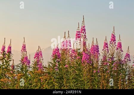 Fireweed flowering,  early morning light,  Matanuska Susitna Valley. 'Chamerion angustifolium Holub'. - Stock Photo