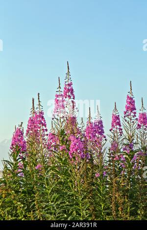 Fireweed flowering,  mid July, early morning light, Matanuska Susitna Valley. 'Chamerion  angustifolium Holub'. - Stock Photo