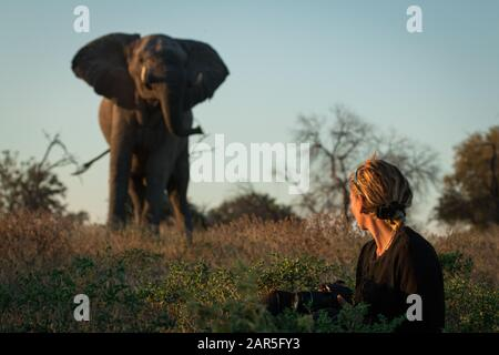 With the reassurance of her safari guide this young woman keeps calm as the bull elephant makes its presence known. Taken on safari at Machaba Camp - Stock Photo