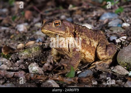 Male specimen of Common or European toad (Bufo bufo) moving during the night in direction of the breeding pond - Stock Photo