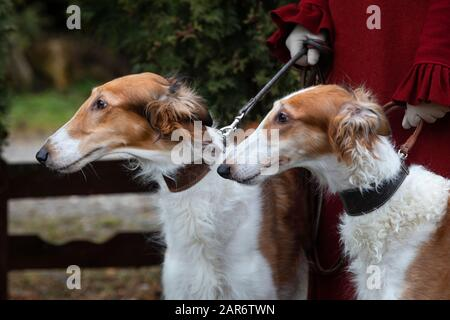 A woman holds Russian borzoi dogs - Stock Photo
