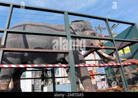 An Indian elephant being transported through Colombo, Sri Lanka in an open backed lorry. Possibly to a local festival or event. - Stock Photo