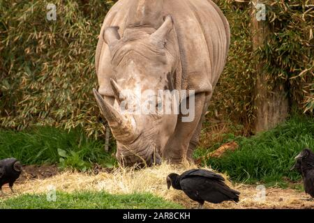 Large rhino Eating Hay Surranded by Vultures in the Day Time - Stock Photo