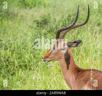 A red-billed oxpecker clears mites from the ear of an impala ram in the Kruger National Park in South Africa image in horizontal format - Stock Photo
