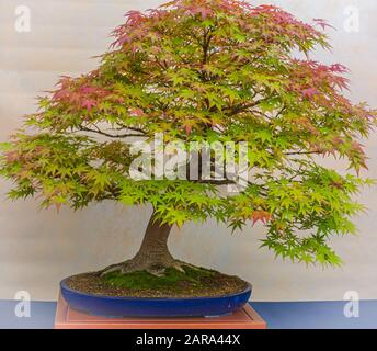 A small bonsai tree in a ceramic pot. Acer Palmatum. Bonsai Japanese maple tree. Autumn colours - Stock Photo