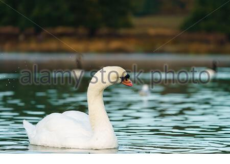 Mute swan (Cygnus olor) shaking water from itself, taken in the UK - Stock Photo