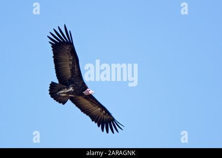 Hooded Vulture (Necrosyrtes monachus), in flight, Gambia. - Stock Photo