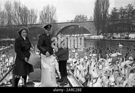 Der Schwanenvater Harald Niess kümmert sich um die Alsterschwäne in Hamburg, Deutschland 1970er Jahre. Stockman Harald Niess, called 'Schwanenvater' feeding and taking care for the swans of Alster in Hamburg, Germany 1970s. - Stock Photo