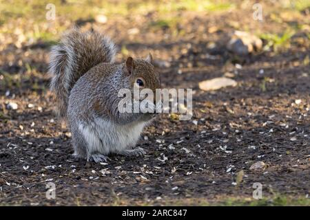 Grey squirrel Sciurus carolinensis White underside grey upper red brown tinges on face back and tail. Large bushy tail arched backwards. - Stock Photo