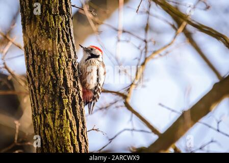Middle spotted woodpecker (Dendrocoptes medius) - Stock Photo