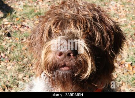 Portrait of an adult wire-haired pointing griffon or Korthals - Stock Photo