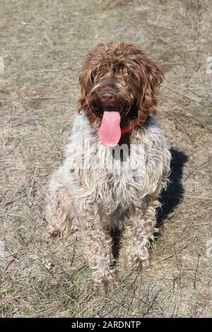 Wire-haired pointing griffon or Korthals with tongue sticking out - Stock Photo