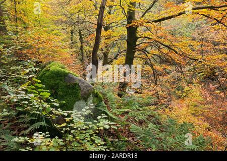 Autumn trees and foliage in deciduous woodland at Padley Gorge, Peak District, Derbyshire, England, UK - Stock Photo