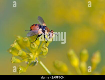 Gymnosoma is a genus of flies in the family Tachinidae, Greece. - Stock Photo