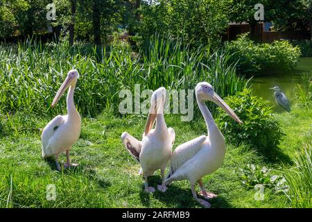 Eastern White Pelicans, Pelecanus onocrotalus, at a zoo. Also known as rosy, great white or white pelican. - Stock Photo