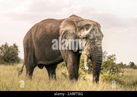Big Elephant standing in africans wilderness, Kruger National Park