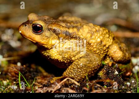 Common toad (Bufo spinosus) in Bustarviejo, Madrid, Spain. - Stock Photo