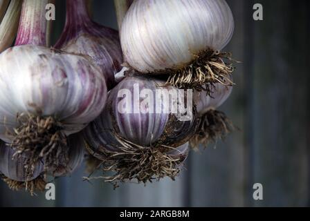Bunch of freshly picked garlic hanging against gray wooden wall background, selective focus, close-up - Stock Photo