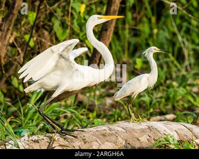 An adult great egret (Ardea alba) on left, and snowy egret (Egretta thula) on right, Rio El Dorado, Amazon Basin, Peru, South America - Stock Photo