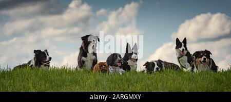 Many obedient dogs - Border Collies and other in all ages from the young dog to the senior - Stock Photo