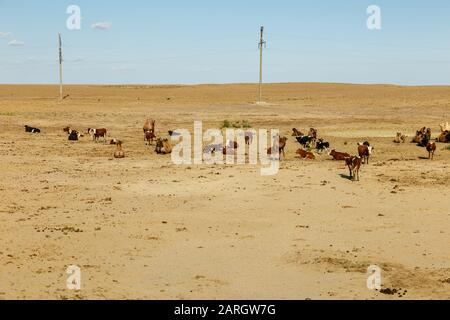 herd of cows grazes with camels in the steppes of Kazakhstan. Aral District - Stock Photo