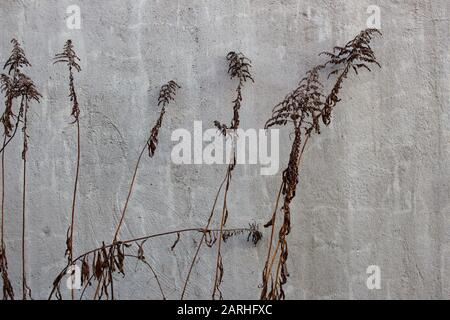 Dry plants in front of a gray concrete wall, background texture or wallpaper