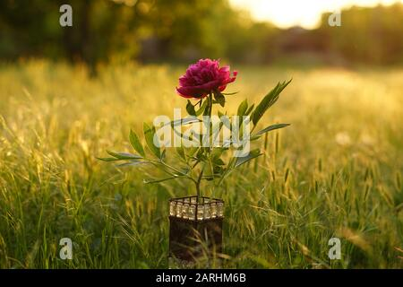 Dark pink peony flower in a vase among green grass at sunset.