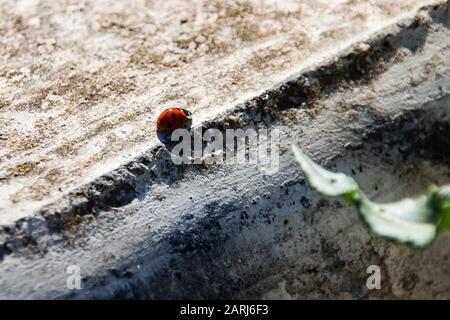 Ladybug beetle crawling on concrete pavement close up, copy space - Stock Photo