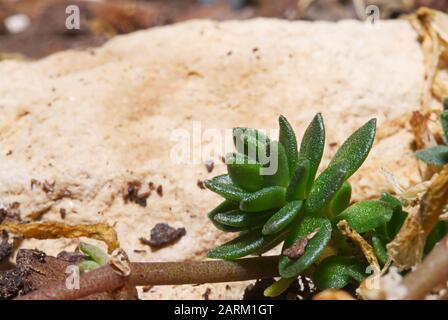 A tiny harwothia succulent growing in a backyard garden. - Stock Photo