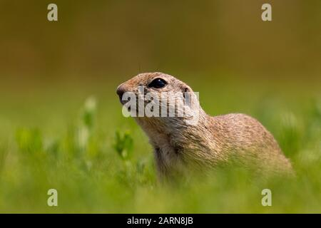 European ground squirrel, Spermophilus citellus on green grass, Kiskunsági Nemzeti national park, Hungary - Stock Photo