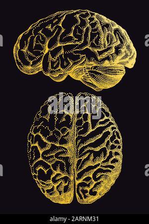 Gold human brain, vintage anatomical vector illustration over black background - Stock Photo