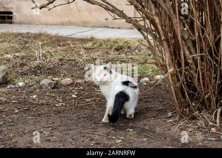 Homeless black white cat near the bush Stock Photo