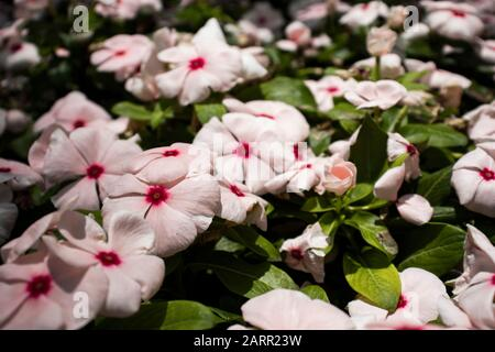 Madagascar Periwinkle plant outdoors during summer. The Flower is White with a pink or red middle. Other names include - bright eyes, Cape periwinkle, - Stock Photo