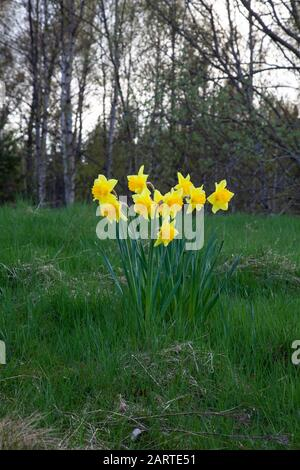A small cluster of Wild daffodils Narcissus pseudonarcissus growing in a meadow and heralding the arrival of spring in Scotland U.K. - Stock Photo
