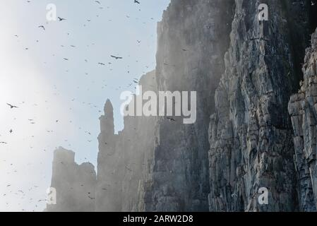 Thick-billed murres (Uria lomvia), colony, Alkefjellet bird cliff, Hinlopen Strait, Spitsbergen, Svalbard, Norway - Stock Photo