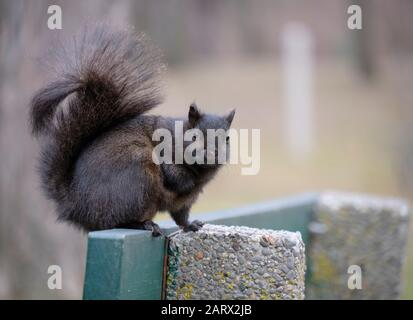 Black squirrel standing on bench looking at camera - Stock Photo