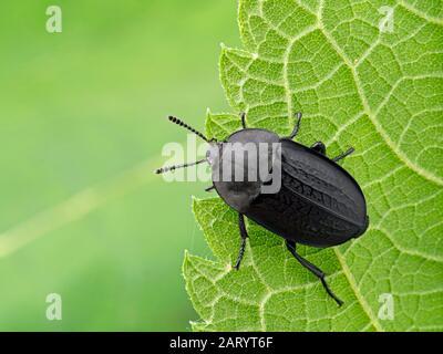 Garden Carrion Beetle Heterosilpha Ramosa On Plant Stem With