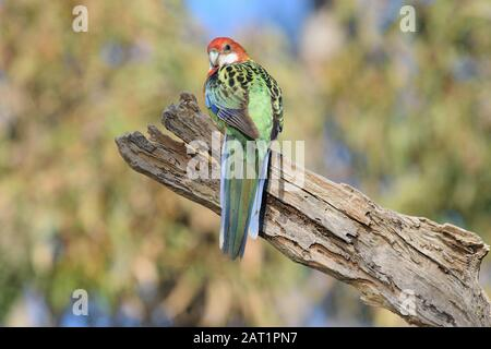 Female Eastern Rosella in a tree near a nest hollow, a colourful native Australian parrot - Stock Photo