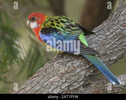 A female Eastern Rosella on a branch in the wild in Australia - Stock Photo