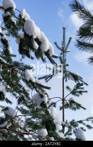 Spruce branches covered with snow and hanging small icicles on the background of the blue sky - Stock Photo