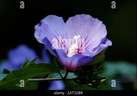 rose mallow, Hibiscus syriacus in a park in cologne on a sunny summer day - Stock Photo