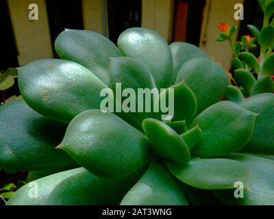 detail of echeveria plant closeup. shiny leaves and dark building exterior background. residential open court. Crassulaceae plant. tight rosette shape - Stock Photo