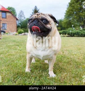 Portrait of nice pug dog in outdoors. - Stock Photo
