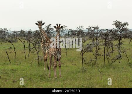 curious giraffe babies - Stock Photo