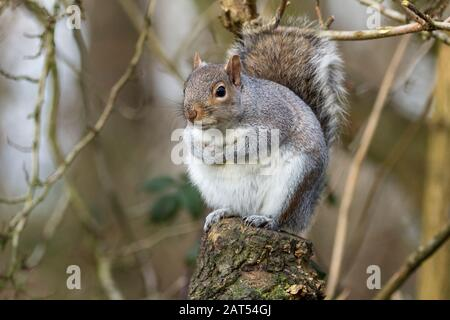 Grey squirrel Sciurus carolinensis in winter UK. Blue grey fur with tinges of red brown and white underside. Large bushy tail arches over backwards.