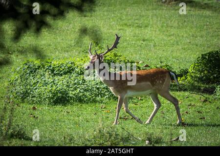 Fallow Deer Male (Dama dama) on Meadow